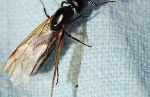 hormiga con alas