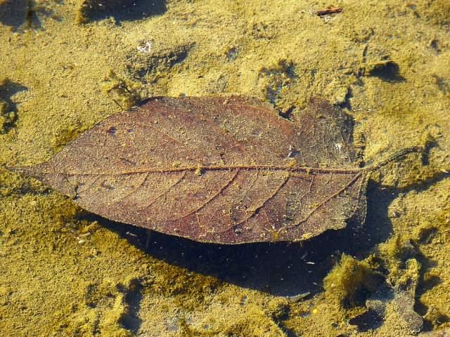 La materia orgánica como los restos de hojas genera también agua marrón