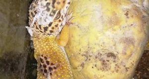 Gecko leopardo con retención de muda