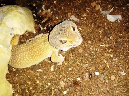 gecko leopardo rodeado de restos de muda