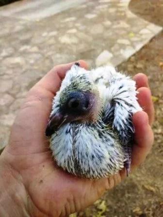 como alimentar a una paloma cria