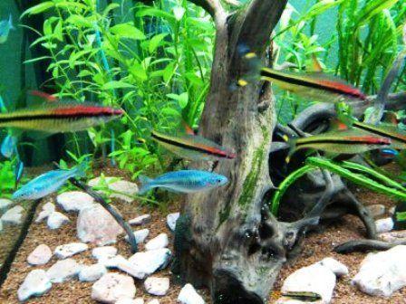 Algunos peces son muy propensos a los saltos suicidas, por eso mejor tener el acuario tapado cuando se los mantiene.