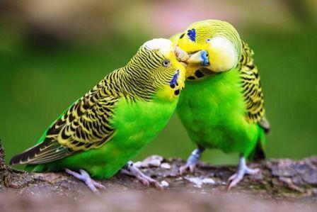 Enseñar cómo se besan los periquitos