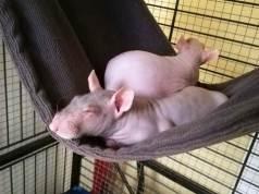 Explicar los cuidados de un rata calva