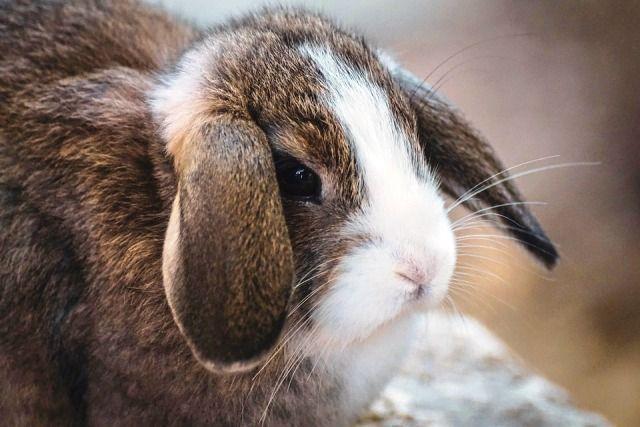 Explicar por qué es mejor el conejo enano para elegir conejo enano vs cobaya