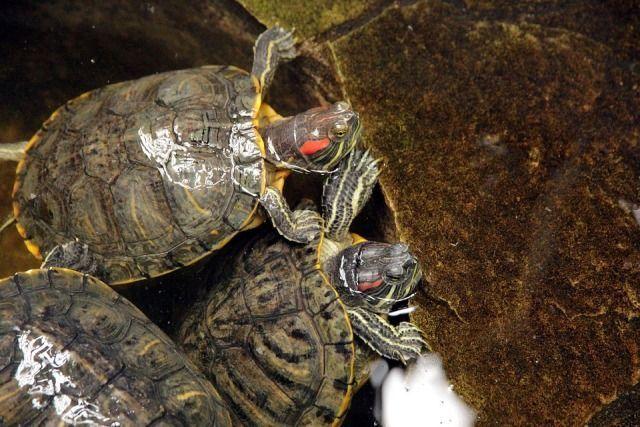 tortuga de agua en adopción