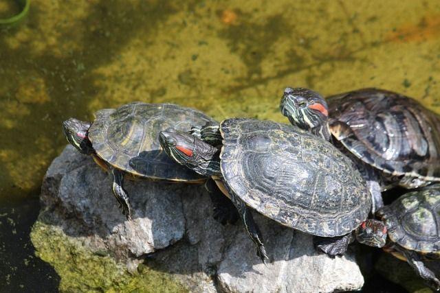 Como dar una tortuga en adopcion