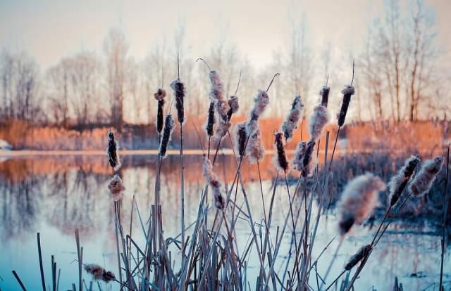 carrizo estanque en invierno