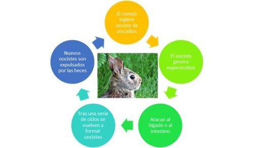 Explicar la coccidiosis en conejos