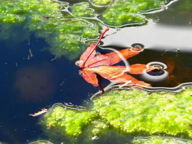 No solo los acuarios están llenos de algas, en los estanques también es frecuente encontrarlas, sobre todo en primavera y verano. En este caso se antoja imprescindible utilizar un buen filtro y un sistema UV.