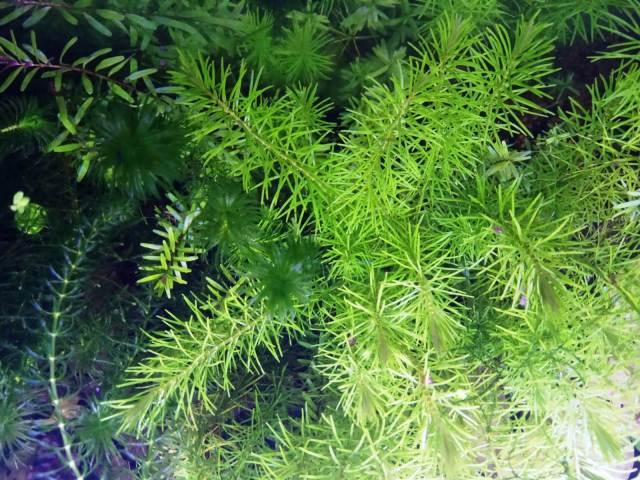 Reducir algas de manera natural utilizando plantas