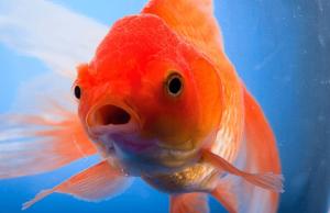 qué hacer si los peces dejan de comer
