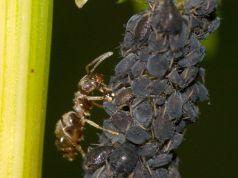 Relación entre pulgones y hormigas