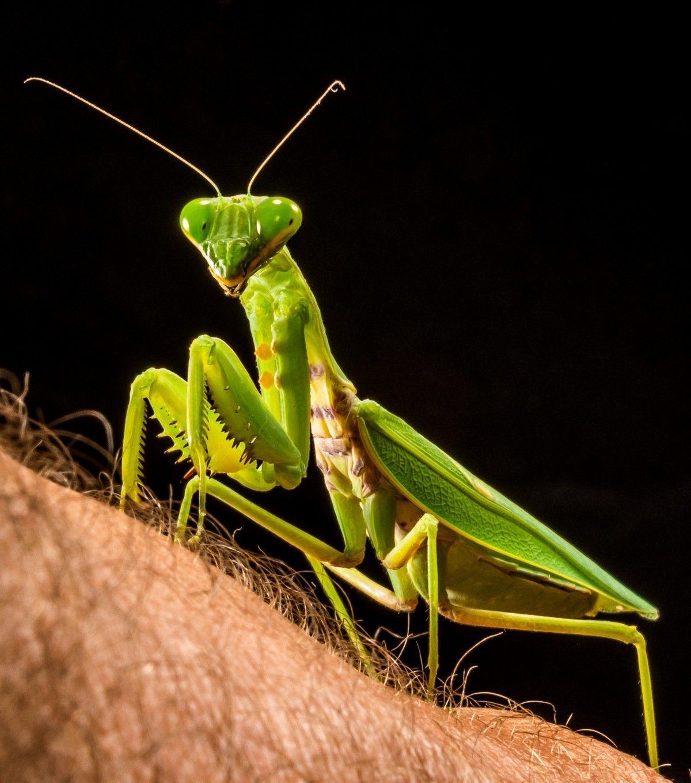 Mantis es venenosa y pica