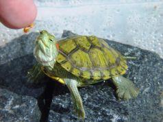 Alimentos para tortugas de agua