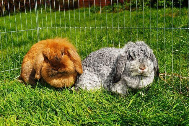 Parques para conejos enanos