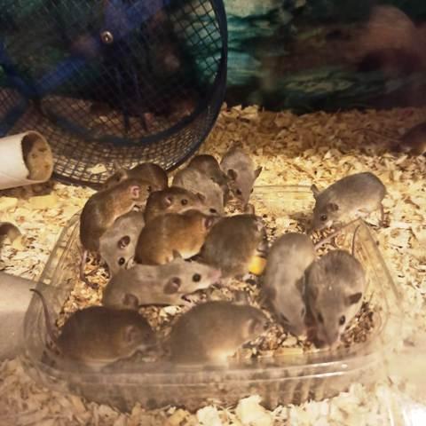 como alimentar ratones pigmeos