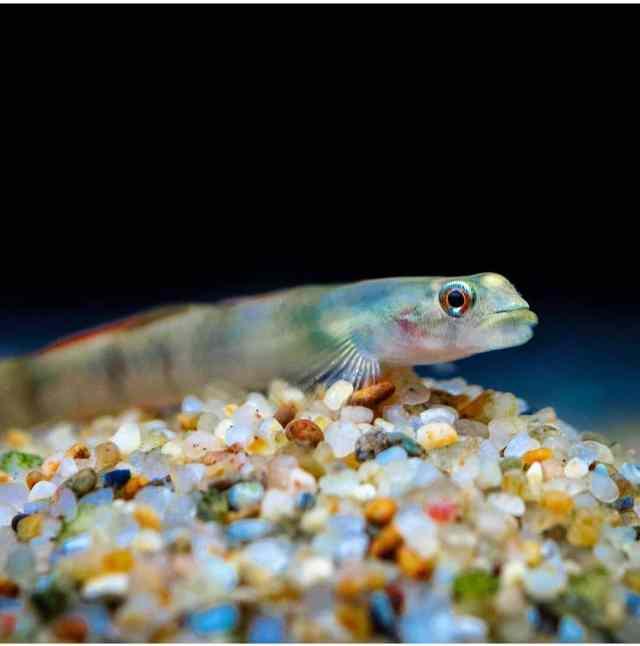 algas marrones en la grava del acuario por fosfatos
