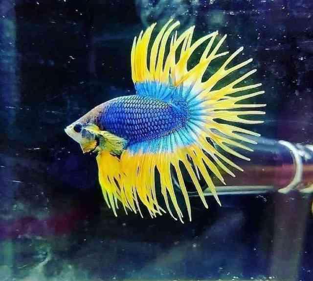 peces de acuario para pecera pequeña