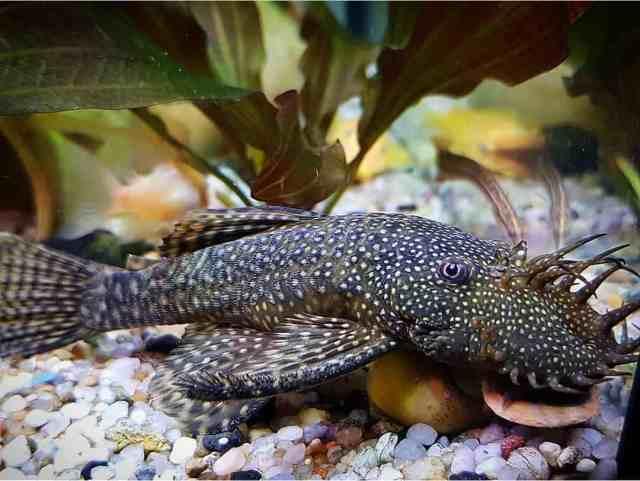 Peces de acuario comedores de algas