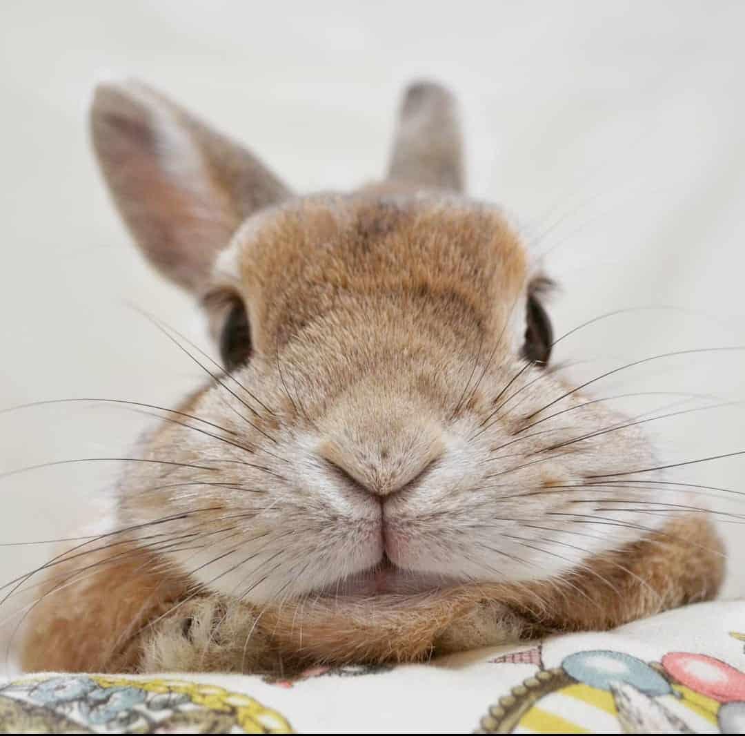 Dar un conejo en adopción alergia