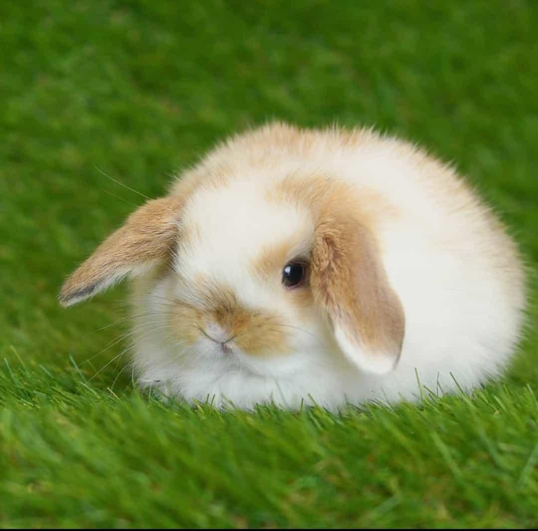 Dar un conejo en adopción belier