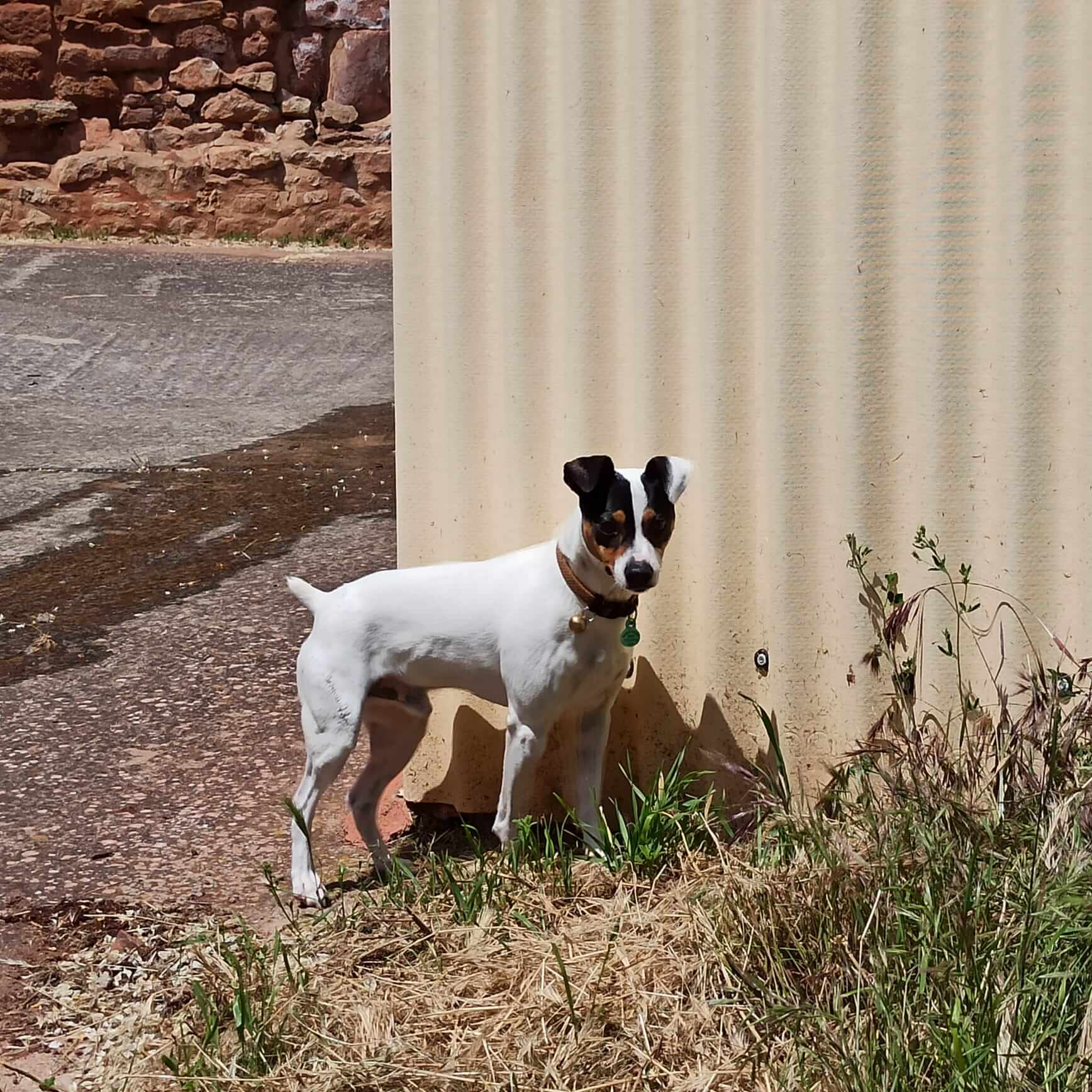 Qué tal es un perro ratonero bodeguero andaluz como mascota