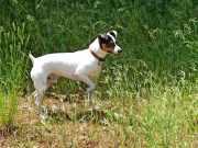 perro ratonero bodeguero andaluz en un piso
