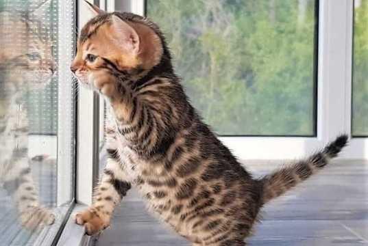 cuidados del gato bengali