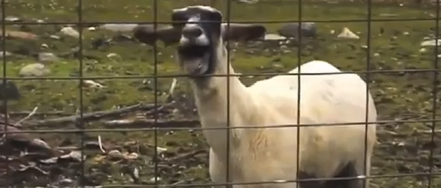 goat-edition