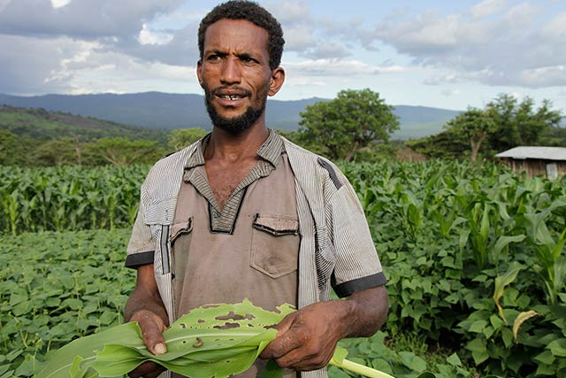 Ethiopia intensifies efforts to battle the fall armyworm