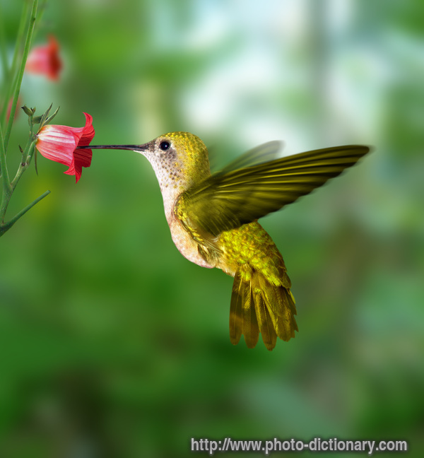 https://i2.wp.com/www.faqs.org/photo-dict/photofiles/list/347/699hummingbird.jpg