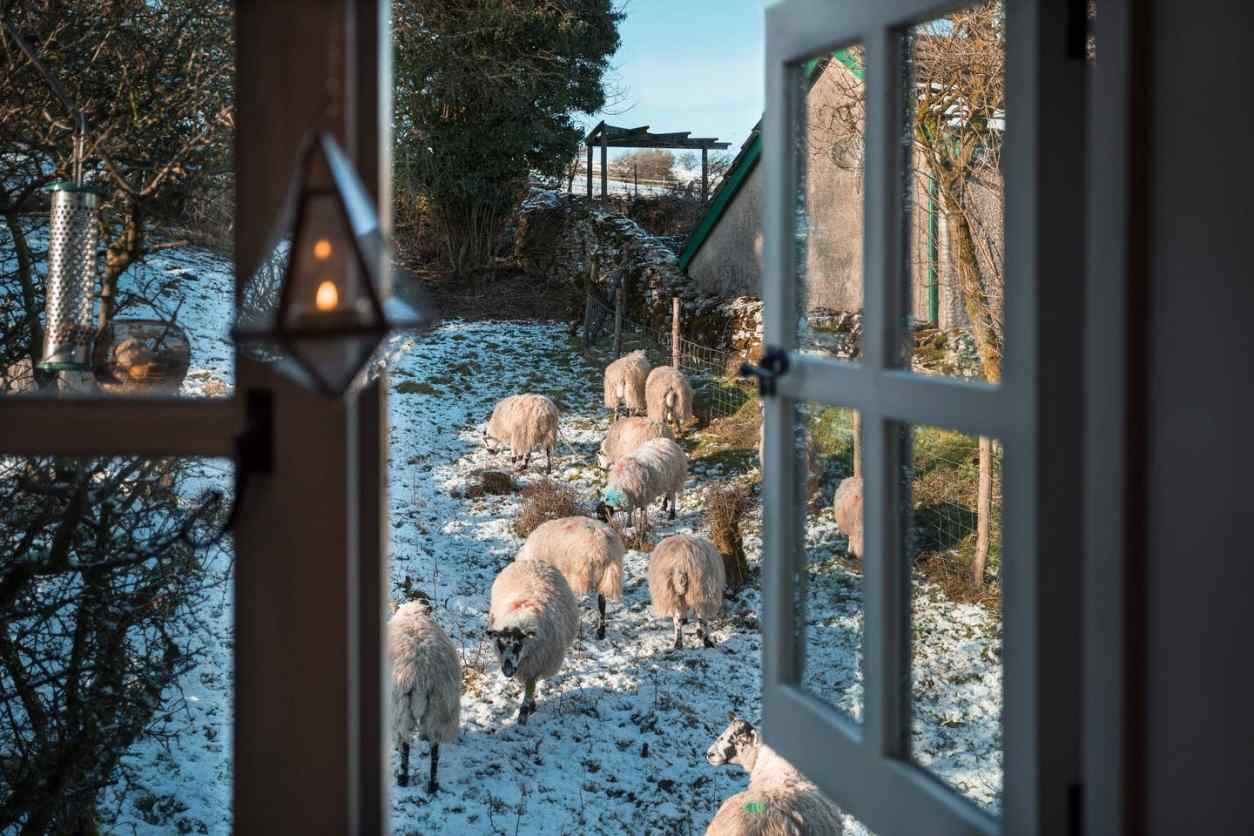 looking-through-window-to-sheep-in-a-snowy-field-in-winter