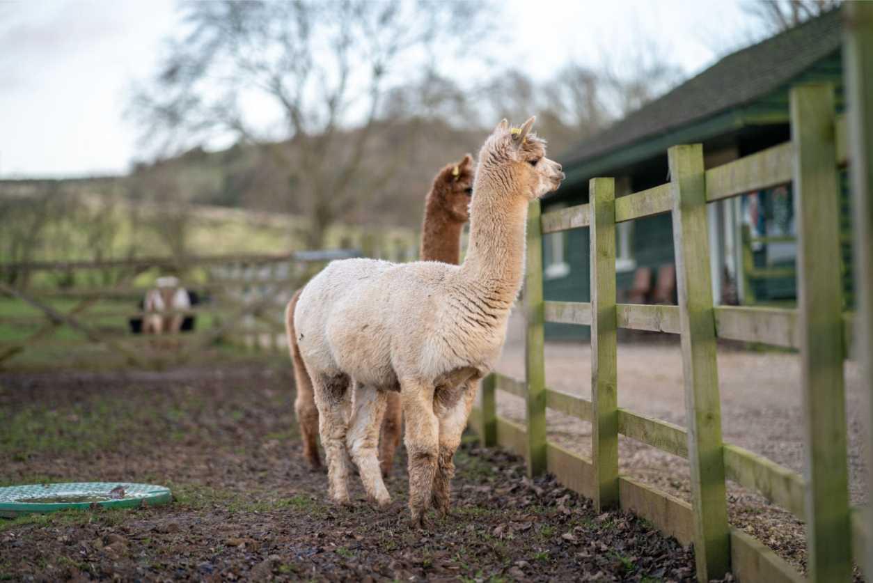 two-cute-alpacas-in-fenced-in-farm