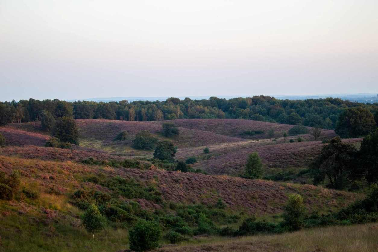 rolling-hills-of-veluwe-with-purple-heather