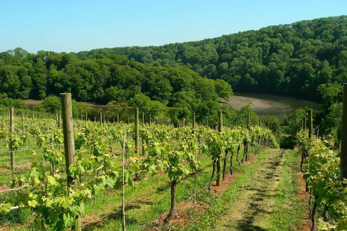 sharpham-wine-vineyard-on-sunny-day