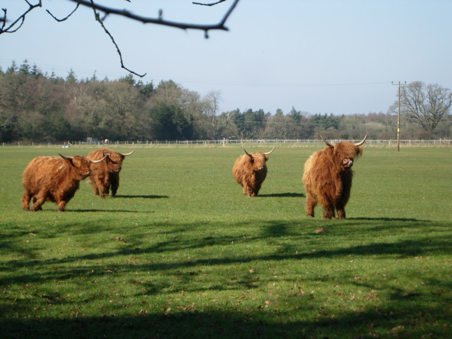 Highland Cattle of the New forest