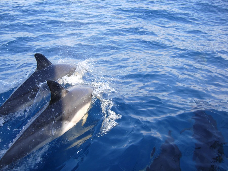 4 dolphins Azores