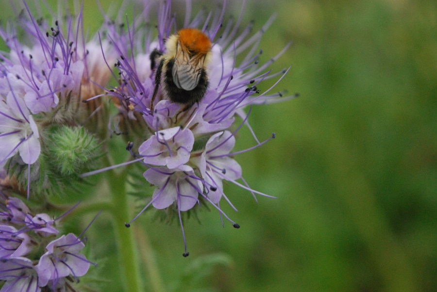 Bees on phacelia