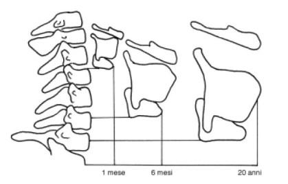 fig. 1 posizione della laringe nelle diverse fasce d'età rispetto alle vertebre cervicali