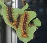 Lymantria dispar – 12 bruchi medi (> 2 cm)