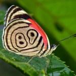 Diaethria, farfalle che danno i numeri