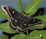 Eupackardia calleta (maschio)