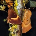 Falene di casa nostra: Bombice della quercia (Lasiocampa quercus)