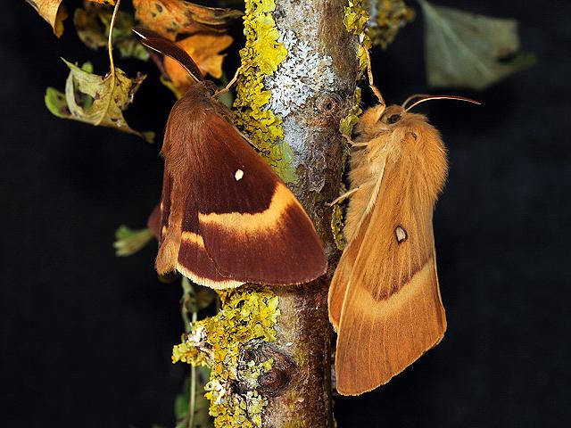 Coppia di Lasiocampa quercus