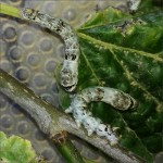 Baco da seta incrocio con baco selvatico (Bombyx mori x mandarina) – 10 bruchi grandi