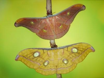 Antheraea frithi