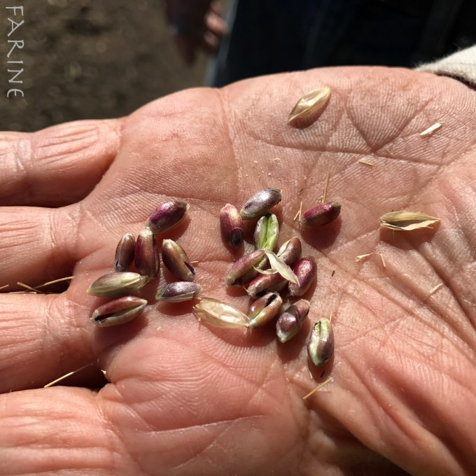 Ethiopian blue-tinged farro seeds