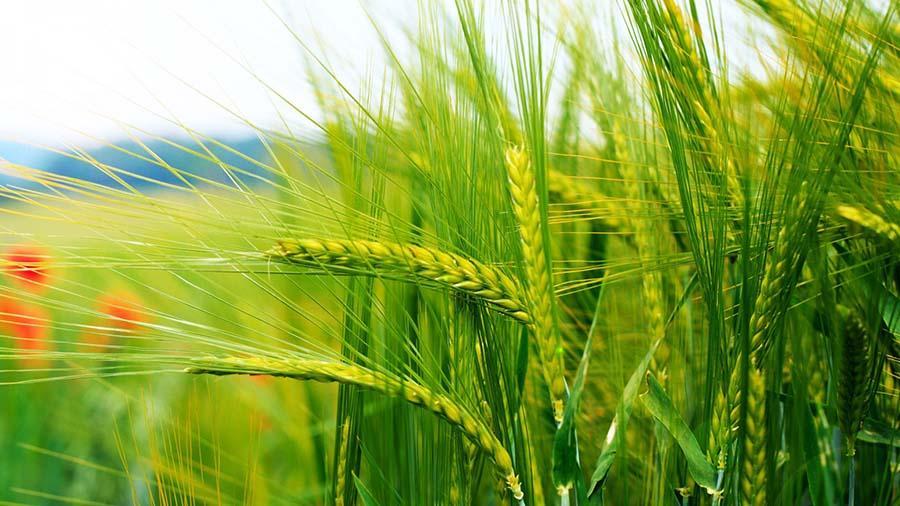 beneficios del germen de trigo para la salud