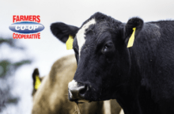 Black Cattle and cattle feeds